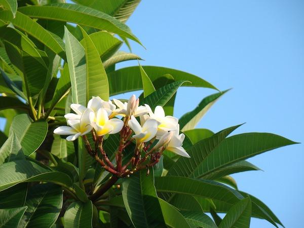 mahana-gardenia-tahitensis